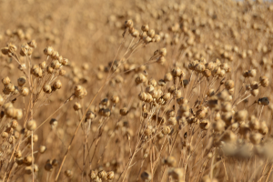 saskatchewan flax development commission latest news amp events